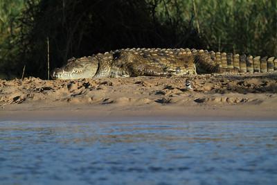 Nile crocodile &three-banded plover