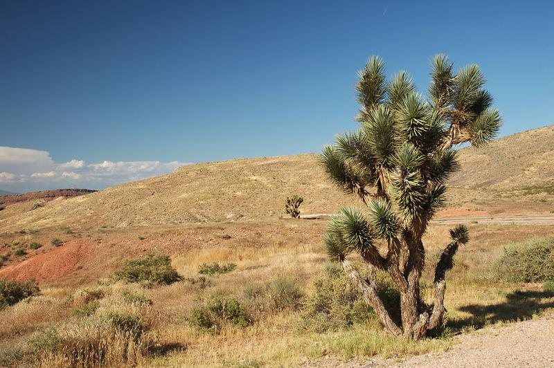 Yucca near St. George Utah