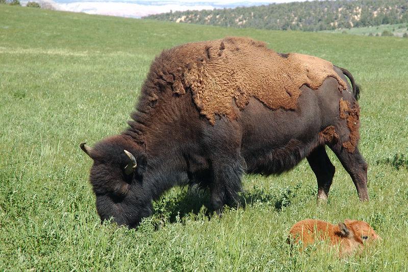 Buffalo and Her Calf