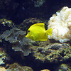 Yellow fish in the aquarium.