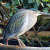 Green Heron at the Oceanogràfic complex.