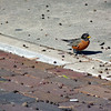A robin on the street.