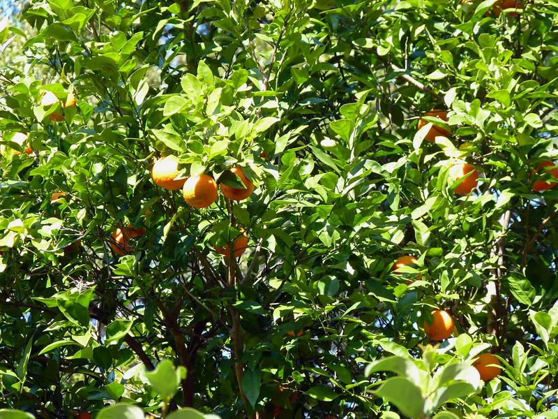 An orange tree in someone's yard.