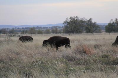 20171120-035 - Texas - Caprock Canyons SP - Buffalo