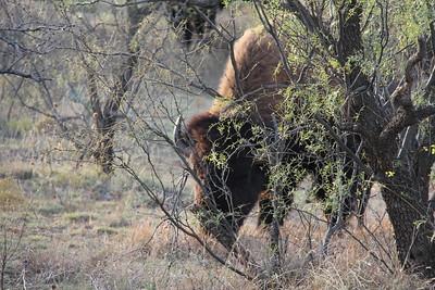 20171120-021 - Texas - Caprock Canyons SP - Buffalo