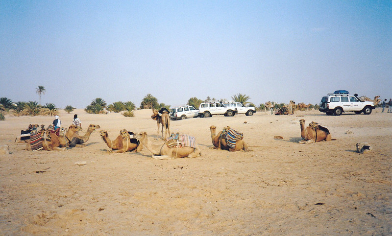 Camels waiting for us.