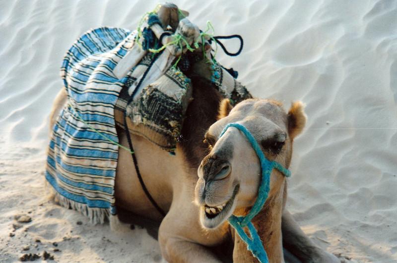 Sahara camel.