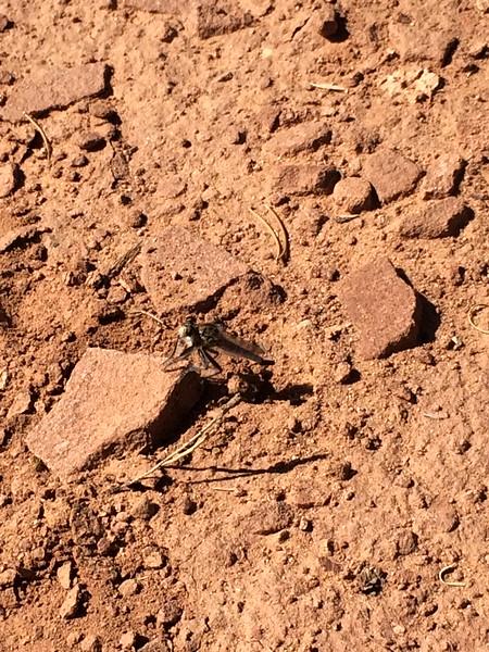 Big Moab Bug