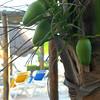 Local coconuts.
