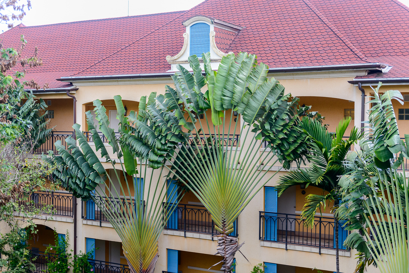 Fan type of palm tree in the French Village