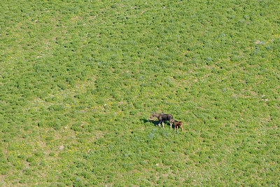 A cow moose and her calf
