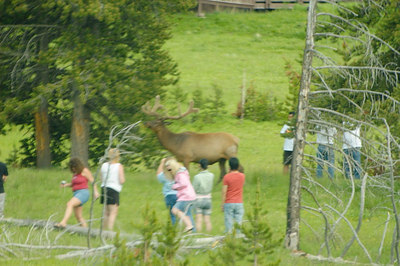 Idiots surrounding an elk.