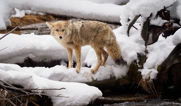 Bob Panick - 2018-01-29 - BHUA02630 - Yellowstone - REP10314