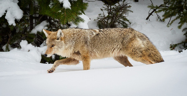 The fishing coyote