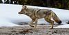 Bob Panick - 2018-01-30 - BHUA02630 - Yellowstone - REP10013_Luminar2018-edit