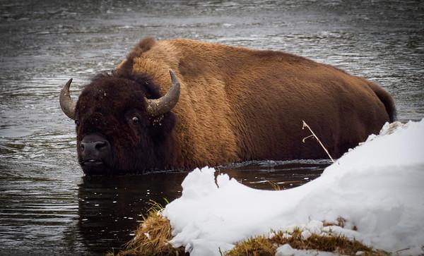 Bob Panick - 2018-01-29 - BHUA02630 - Yellowstone - REP10112