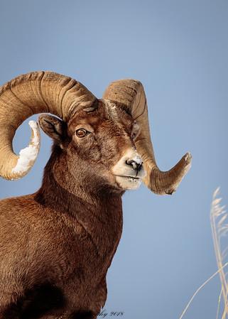 Rocky Mountain Big Horn Sheep ram-5