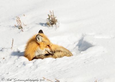 Red Fox-3