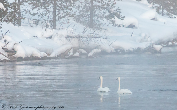 swans on the Madison-2
