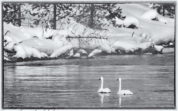 swans on the Madison