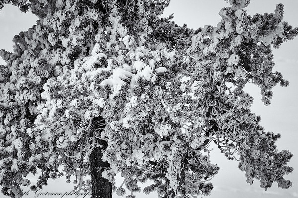 frosty tree - b&w