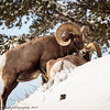Rocky Mountain Big Horn Sheep ram