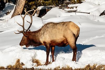 bull elk-3