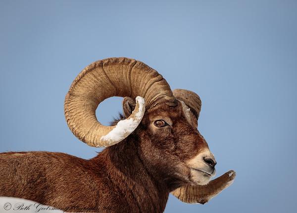 Rocky Mountain Big Horn Sheep ram-4