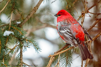 Red-Breasted Grosbeak-3