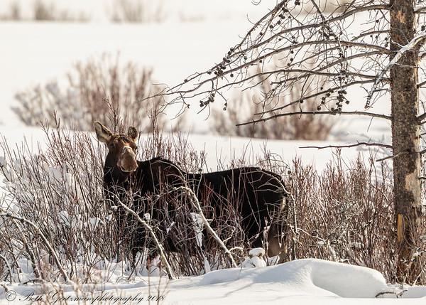 moose cow-3