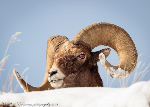 Rocky Mountain Big Horn Sheep ram-6