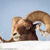Rocky Mountain Big Horn Sheep ram-6