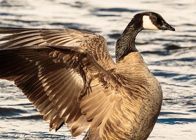 Canada Goose-2