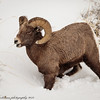 Rocky Mountain Big Horn Sheep ram-8