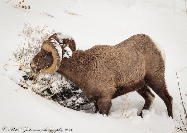 Rocky Mountain Big Horn Sheep ram-9