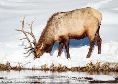 bull elk-2