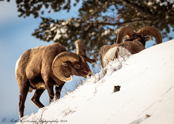 Rocky Mountain Big Horn Sheep ram-2