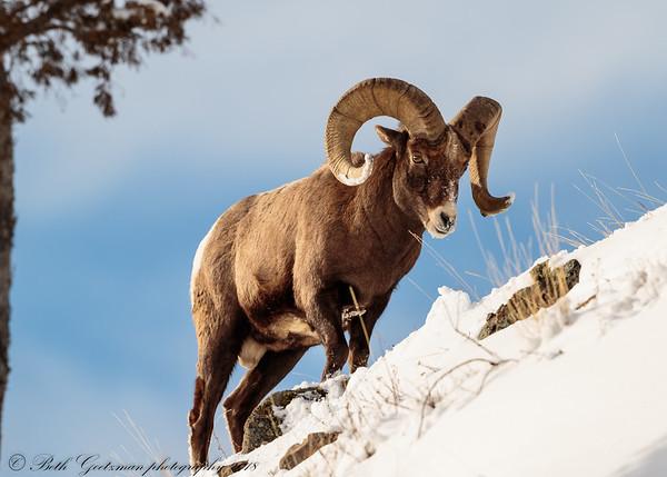 Rocky Mountain Big Horn Sheep ram-3
