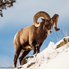 Rocky Mountain Big Horn Sheep ram-3