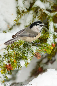 mountain chickadee-5