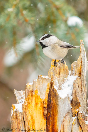 mountain chickadee-7