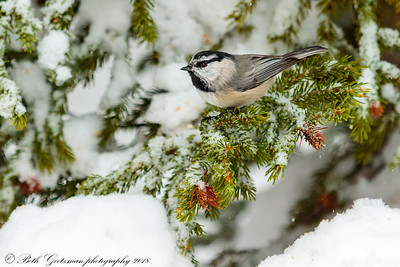 mountain chickadee-6