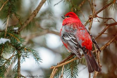 Red-Breasted Grosbeak-4