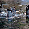 02-13-10 Yosemite - Ducks - waiting for sunset we focused on these Mallards feeding on the bottom of the river. Never got them in good light, but this was a funny scene.