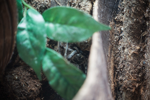 The closest we got to seeing a Green Huntsman spider. Hiding in a tank at the Australian Museum.