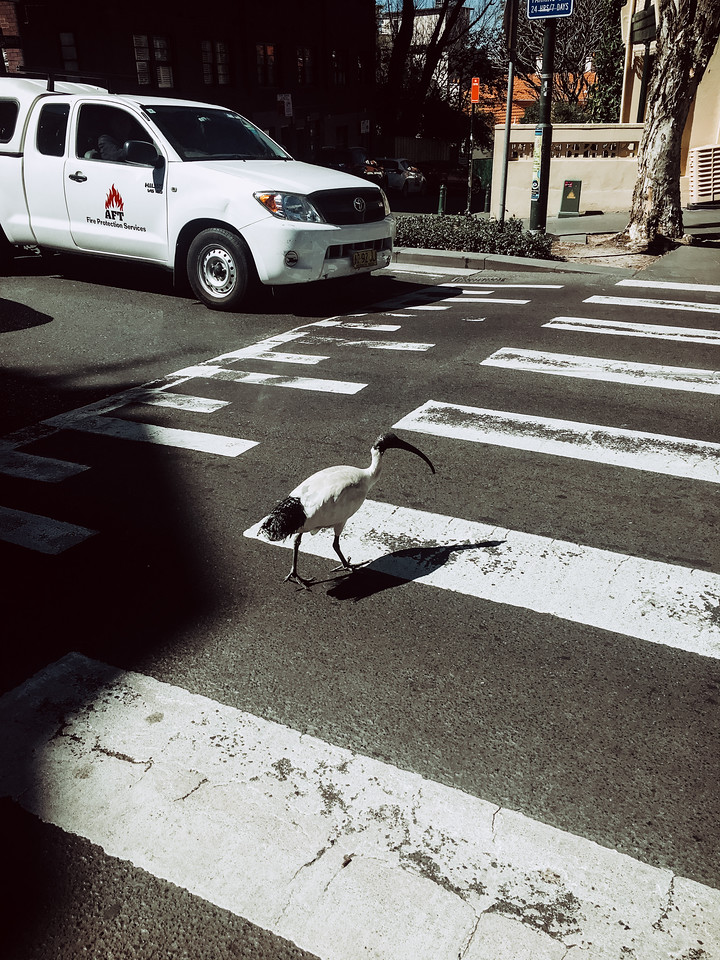 Why did the ibis crossed the road? At least he used the crosswalk.