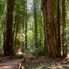 Armstrong Woods State Park, Guerneville CA