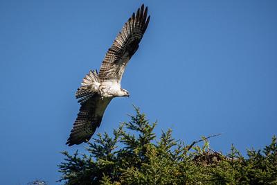 beautiful Osprey wing span