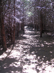 A path of silvery redwoods in Point Reyes National Seashore.