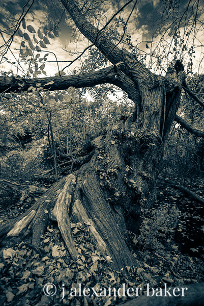 Witching Tree